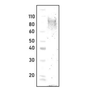 polycolnal Autotaxin antibody - Echelon Biosciences