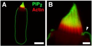 Z-A045, PIP2 anitbody - Echelon Biosciences