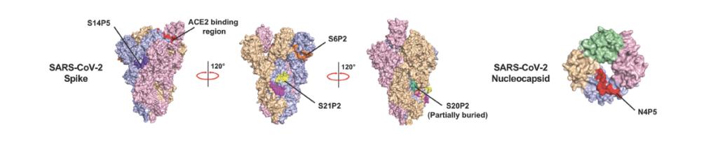Location of SARS-CoV-2 surface epitopes - Echelon Biosciences